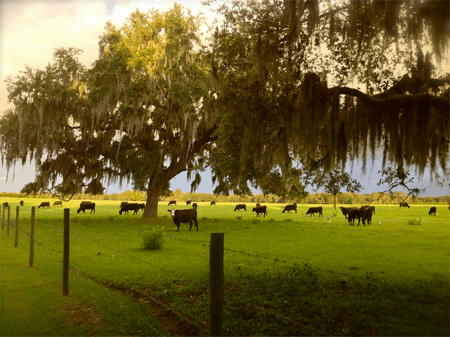 Cows and cypress trees at Emily's ranch.
